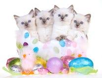 4 leuke katjes van Pasen Ragdoll Stock Afbeelding