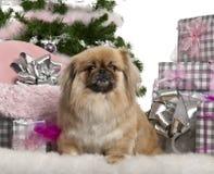 4 liggande gammala pekingese år för jul Royaltyfri Foto