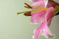 4 lilly стоковые изображения rf