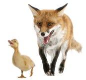4 lisa starych bawić się czerwonych vulpes rok Obraz Royalty Free
