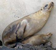 4 lwów morze Zdjęcie Royalty Free