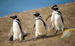4 magellanic пингвина Стоковое Изображение RF