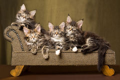 4 Maine Coon kittens on chaise sofa. 4 Maine Coon kittens lying on miniature brown sofa couch chaise, on gold background Royalty Free Stock Images