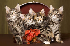 4 Maine Coon kittens inside brown gift box. 4 Maine Coon kittens sitting inside brown gift box with bow, on gold background Royalty Free Stock Images