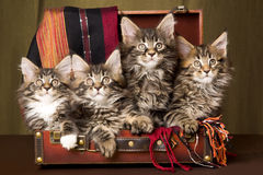 4 Maine Coon kittens inside brown suitcase. 4 Maine Coon kittens sitting inside brown suitcase on gold background Stock Images