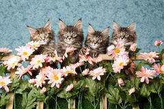 4 Maine Coon kittens with pink flowers. 4 Maine Coon kittens sitting in a row behind trellis of pink flowers, on blue background Stock Image