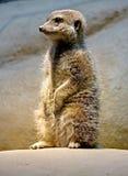 4 meerkat Zdjęcia Royalty Free