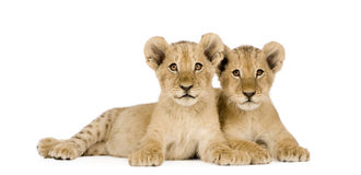 4 mois de lion d'animal Photo libre de droits