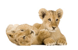 4 mois de lion d'animal Photographie stock libre de droits