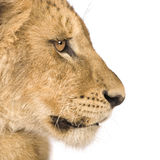 4 mois de lion d'animal Images libres de droits