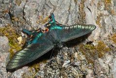 4 motyli f maackii papilio raddei zdjęcie stock