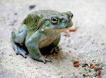 4 nice toad Arkivfoto