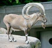 4 nubian的高地山羊 免版税库存照片