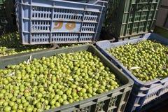 4 olives vertes fraîches Images libres de droits