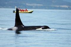 4 orka Zdjęcia Royalty Free