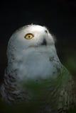 4 owl snowy white Стоковые Изображения