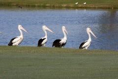 4 pelicanos Foto de Stock Royalty Free