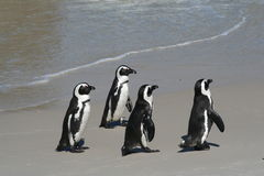 4 penguins. Four Jackass penguins at the waters edge Stock Image