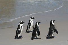 4 pinguïnen stock afbeelding