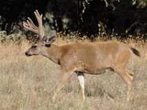 4 point velvet buck Stock Photo