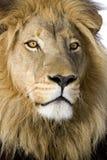 4 przyrodnich Leo lwa panthera rok Zdjęcie Stock