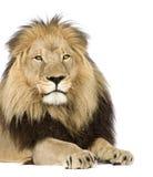 4 przyrodnich Leo lwa panthera rok Obraz Stock