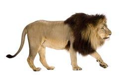 4 przyrodnich Leo lwa panthera rok Zdjęcie Royalty Free