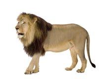 4 przyrodniego Leo lwa panthera roku Zdjęcia Royalty Free