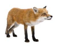 4 röda vulpesår för räv arkivfoton