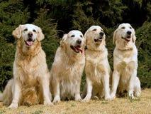 4 Retrievers dourados bonitos Fotos de Stock