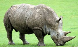 4 rhinocerous 免版税库存图片