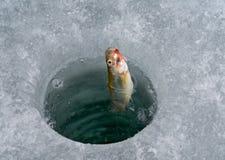 4 rybi haczyk Zdjęcia Royalty Free