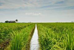 4 séries de paddy de zone de l'Asie Image libre de droits