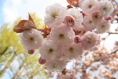 4 Sakura Fotografia Royalty Free
