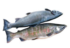 4 salmons δύο Στοκ εικόνα με δικαίωμα ελεύθερης χρήσης