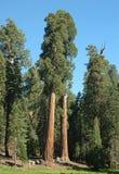4 sequoia Obraz Royalty Free