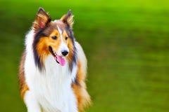 4 sheepdog shetland Arkivfoto