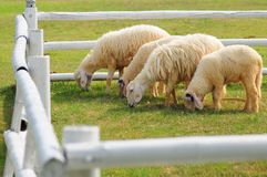 4 sheeps Royalty Free Stock Photo