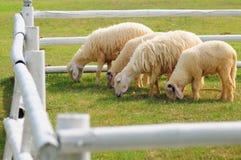 4 sheeps Royalty Free Stock Photo