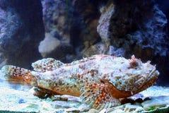 4 skorpion ryb Zdjęcia Royalty Free