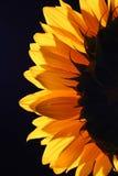4 studiów słonecznik Obrazy Stock