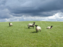 4 suffolk sheeps Stock Photo
