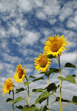 4 sunflowers. 4 golden sunflowers against a sky with sheepclouds Royalty Free Stock Images