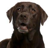 4 täta labrador för choklad gammala övre år Arkivfoto