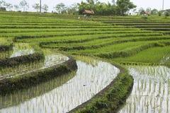 4 terrasser för fältindonesia rice Arkivfoto