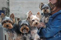 4 terriers yorkshire Стоковые Изображения