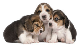 4 veckor för valpar för beaglegrupp gammala Fotografering för Bildbyråer