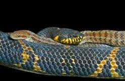 4 węża dwa Fotografia Stock