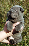 4 weeks old blue sharpei in hands. Small blue coloured baby sharpei in human hands Royalty Free Stock Photo