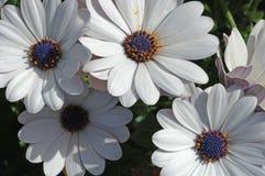 4 witte bloemen Stock Afbeelding